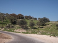 Olives covers about 72% of the total area planted with fruit trees and 36% of the total cultivated area in Jordan